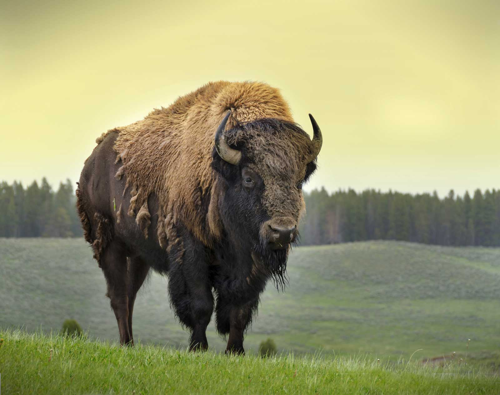 Stock image of Bison I chose to use